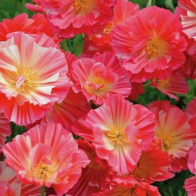 "Poppy ""Eschscholzia"" Carmine King, 100 Seeds, Beautiful flower,"
