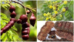 30 Seed Acacia Concinna Tree Shikakai Fruit Traditional Hair Shampoo
