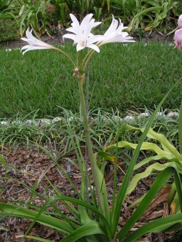 medium-size bulb Crinum Lily White Rabbit