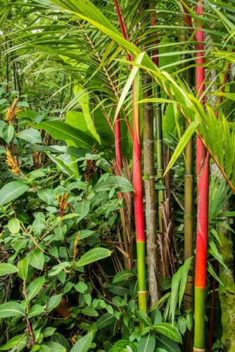 Red Steal Wax Palm 5 Seeds Lipstick Palm Cyrtostachys renda