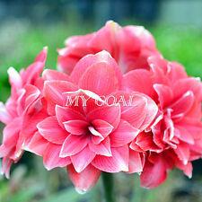 2X Pink Lady Amaryllis Bulbs Bonsai Plant Garden Decor Seeds Hippeastrum Flower