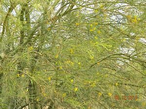 Green bark mexican parkinsonia aculeata jerusalem thorn palo verde image is loading green bark mexican parkinsonia aculeata jerusalem thorn palo mightylinksfo