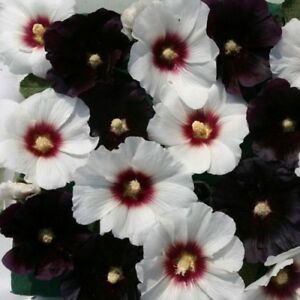 Hollyhock-Seeds-25-Halo-Night-amp-Day-Mix-Perennial-Seeds