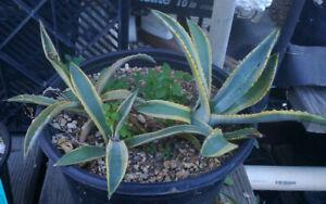Agave-murpheyi-variegated-Triple-Plants-Yellow-Edges-187