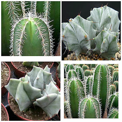 10 semi di Lemaireocereus montanus piante grasse,seeds cactus