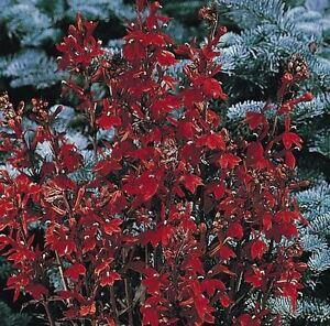 Flower Lobelia Fan Scarlet 50 Pelleted Seeds Large Ebay