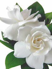 Gardenia Absolute 10ml @ 5% in Jojoba (French)
