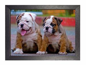 Bouledogue Anglais Chiot bulldog anglais chiots affiche chien superbe mignon douce chiot