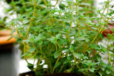 thyme, GERMAN, common, winter, PERENNIAL HERB, 1275 seeds! GroCo*,