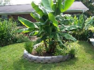 Exotic-Dwarf-Banana-Tree-Garden-Patio-Yard-Tropical-Premium-Fruit-Outdoor-Plant