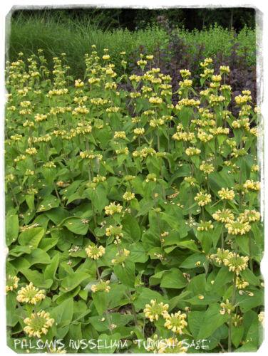 Semillas turco Phlomis russeliana /'Salvia/' 25