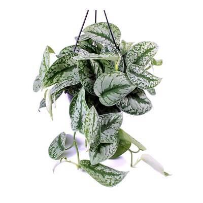 Scindapsus Pictus varigated satin pothos silver vine Exotica 12cm pot