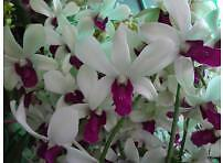 ORCHID - Dendrobium Woon Leng-  PROLIFIC BLOOMING  - INTERMEDIATE