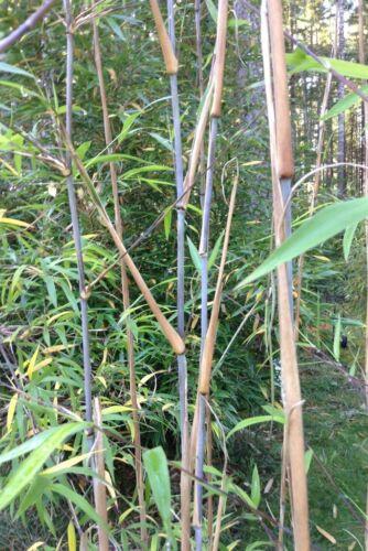 Box of 3 Borinda macclureana,Tibetan clumping bamboo plant great hedge//specimen