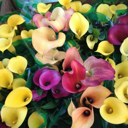 100Pc Colorful Calla Lily Seeds Flowers Plants Seeds E9A9 Se Bonsai Decor G D1T5