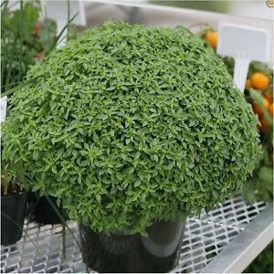 550 graines nt de basilic pic plante aromatique ebay. Black Bedroom Furniture Sets. Home Design Ideas