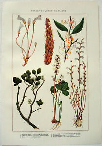 Parasitic Flowering Plants - Original 1902 Chromo-Lithograph by  J Bien. Antique