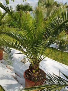 Phoenix-Canariensis-Palme-kanarische-Dattelpalme-Gesamthoehe-ca-110-140-cm