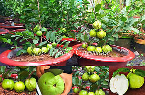 """Details about SEEDS – Extremely Huge Giant Guava, Dwarf """"Kilo Guava"""" Shrub,  Tree 1000 grams!"""