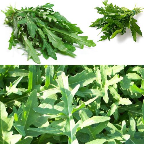 400Pc Rucola  Rugula Eruca Vegetable Herb Seeds Green NON GMO Arugula seeds