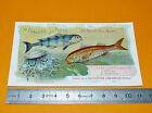 CHROMO CHOCOLAT AIGUEBELLE 1908-1912 POISSONS MER PILOTE SURMULET FISH FISCHE