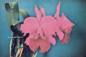 fvi-Postcard-Orchids