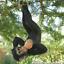 Rope swinging climbing Monkey garden ornament decoration chimp or ape lover gift