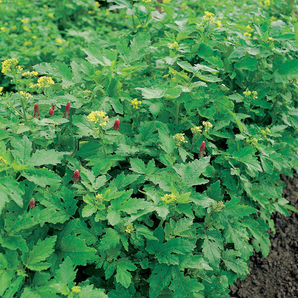 GREEN MANURE AUTUMN / WINTER MIX PICK AMOUNT, seed, YOU NEED 100G = 20 SQM FP