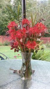 35 FRESH LARGE Healthy Red Spider Lily Bulbs Lycoris Radiata Stunning Beauties - Reform, Alabama, United States - 35 FRESH LARGE Healthy Red Spider Lily Bulbs Lycoris Radiata Stunning Beauties - Reform, Alabama, United States