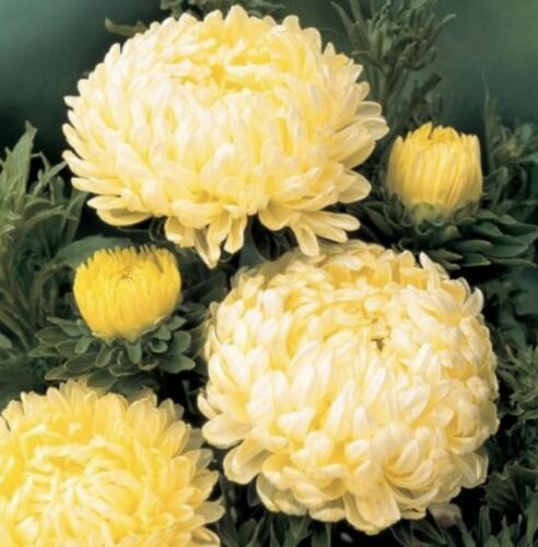 china aster seed 100 seeds Tower Yellow