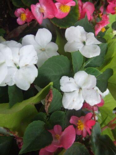 Weisse Begonien Samen Begonia semperflorens 1200 samen
