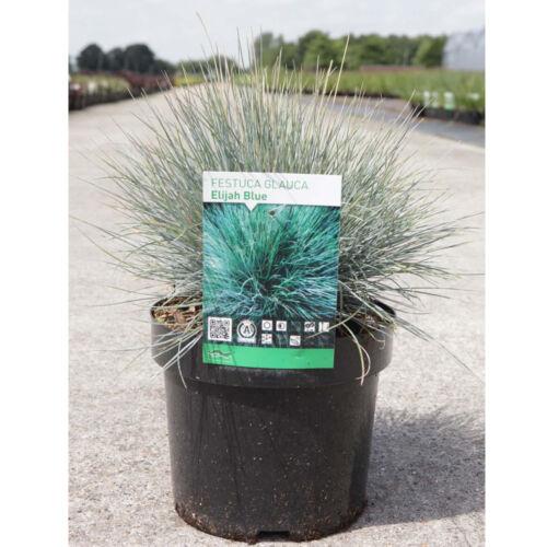 Festuca Hardy Perennial Grass Garden Plant glauca /'Elijah Blue/' in 3.6L Pot T/&M
