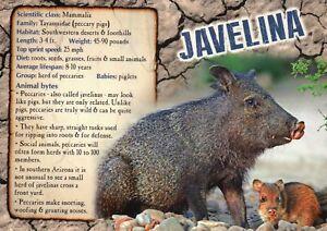 Details about Javelina, Mammal in Southwestern Desert etc , Info - Animal  Information Postcard