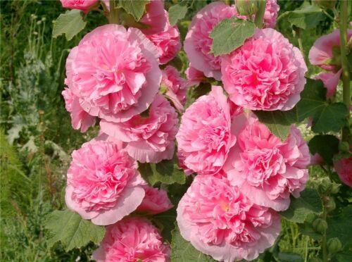 "Flower Mallow Althaea Rosea Hollyhock Double Shtok Rosa /""Rozovaya zamsha/"" Pink"