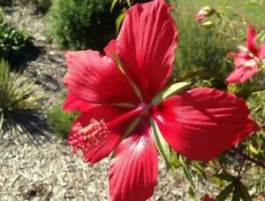 Scarlet Rose Mauve Hibiscus Coccineus 10 Fresh seeds Hardy 2019