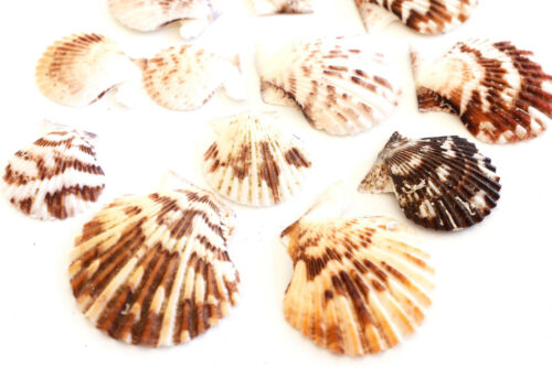 "Arts /& Crafts.Decor 3//4-1/"" 100 Small Pectin Tranquebaricus Shells Seashells"