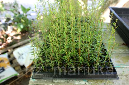 graines de MANUKA authentique d/'Aotearoa Nouvelle-Zélande 2500