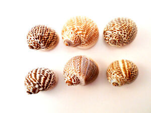 6-Striped-Nautica-Tigrina-Shells-3-4-034-1-034-20-25mm-Small-Hermit-Crabs-Crafts