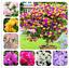 100Pcs-Bougainvillea-Flower-Seeds-Rare-Colorful-Bonsai-Pereninal-Garden thumbnail 1