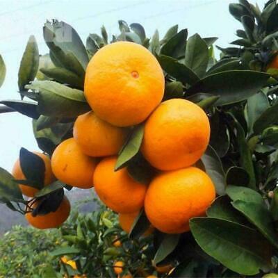 10 PCS Kumquat Orange Baumsamen Bio Obst Baum Bonsai Pflanze Hausgarten Dek Z3O1