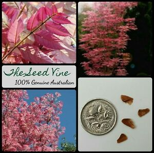 50-CHINESE-MAHOGANY-TREE-SEEDS-Toona-sinensis-Timber-Flower-Edible-Bonsai