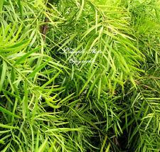 7 seeds Podocarpus gracilior Fern Pine tropical evergreen tree Easy Grower