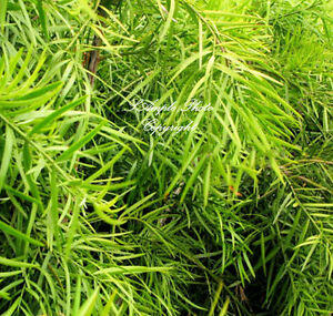 7 seeds Podocarpus gracilior Fern Pine tropical evergreen tree Easy Grower - Willis, Texas, United States - 7 seeds Podocarpus gracilior Fern Pine tropical evergreen tree Easy Grower - Willis, Texas, United States