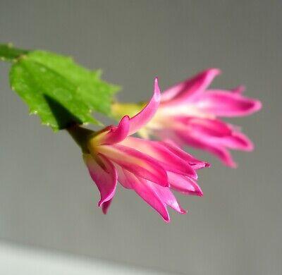 Christmas Cactus Bloom.Very Rare Schlumbergera Thor Wild Christmas Cactus Unusual Bloom Cuttings Ebay
