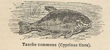 C8610 Cyprinus tinca - Stampa antica - 1892 Engraving