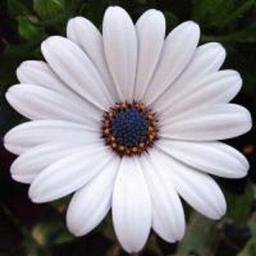 NEW! 20+ WHITE OSTEOSPERMUM FLOWER SEEDS  / HALF HARDY PERENNIAL