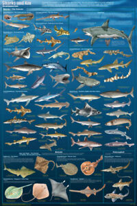 Sharks and Kin Gorgeous Educational Chart Poster 24 x 36 FREE SHIPPING