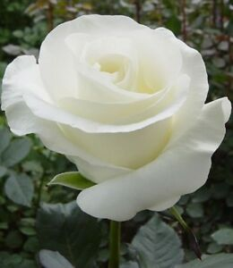 US-Seller-Beautiful-White-Rose-Seeds-100Pcs-Seeds