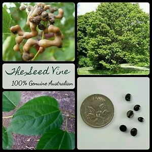 20-JAPANESE-RAISIN-TREE-SEEDS-Hovenia-dulcis-Fruit-Ornamental-Edible-Garden