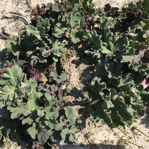 Meerkohl Crambe maritima alte Gemüsesorte Wildgemüse essbare Blüten
